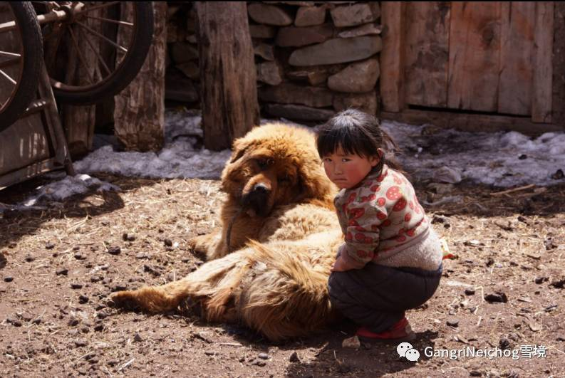 Bakharwal Dog For Sale Olx